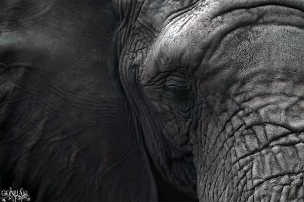 African Elephant by Conrad F de Jong